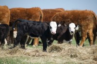 2017 rules means mineral supplementation for cattle may need VFD as well
