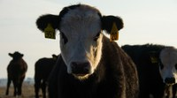 A cow's bad temperament can result in poor profits