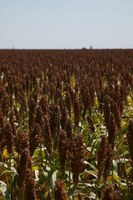 Budget operating costs if planting sorghum in June