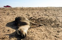 Composting may be timely solution for disposal of dead livestock and large animals