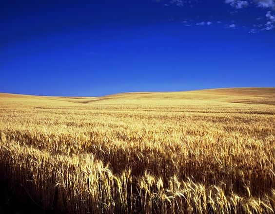 Economics show Oklahoma wheat growers must maximize yields and protein content in their crop