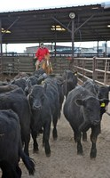 Feedlot inventory of cattle continues to swell