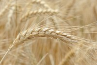 Foreign production info negatively affects recent wheat market rally