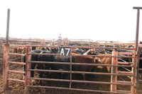 Low feedlot cost of gain making an impact in stocker cattle decisions