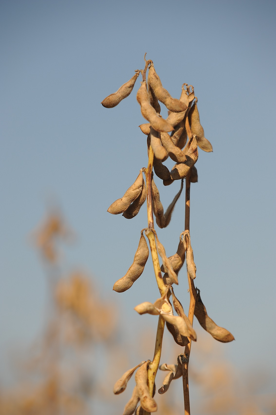 Market price for soybeans may make it a good alternative summer crop for some Oklahoma producers