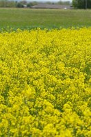 Oklahoma canola producers need to scout for aphids