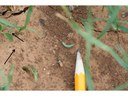 Oklahoma wheat and canola producers should check their crop often for fall armyworms
