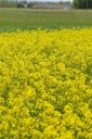 Oklahoma Winter Canola Spring Field Tours set for April