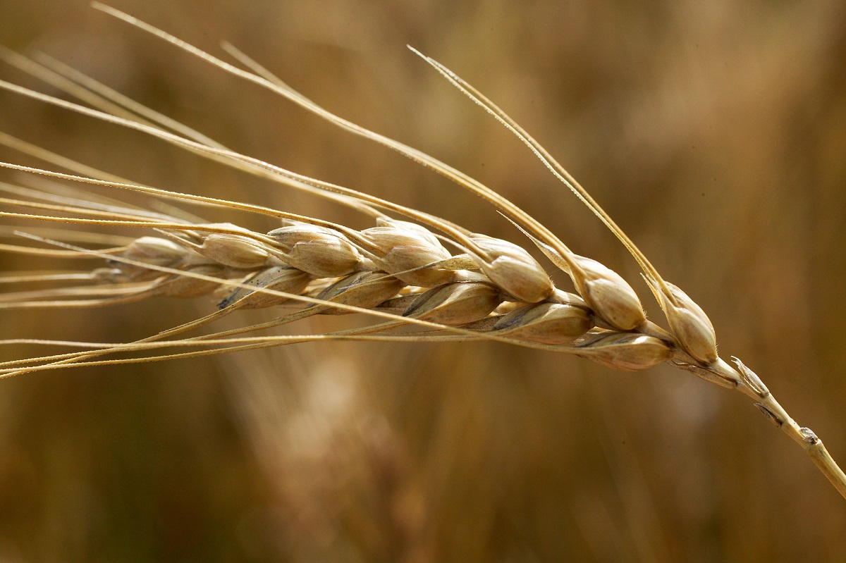 OSU's historic Magruder Plots centerpiece of May 19 wheat field day