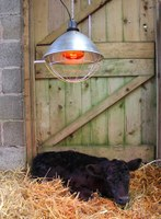 Re-warming methods for cold-stressed newborn calves