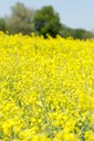 Region's premier canola event set for 2018 in Enid