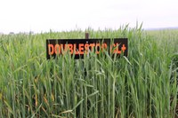 Protect future yields and protein content in Clearfield wheat this fall