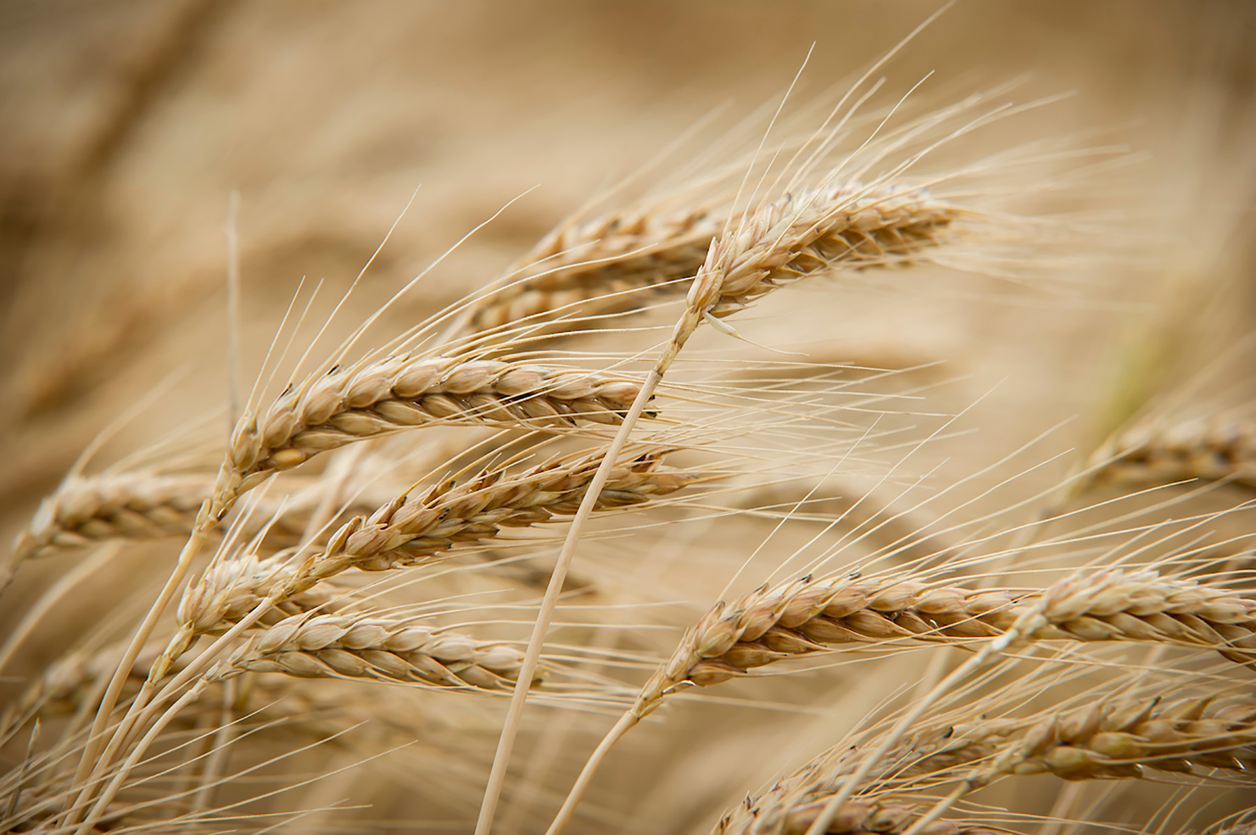 Balancing yield and protein content in a wheat crop