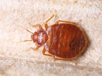 Beware of bed bugs during summer travels