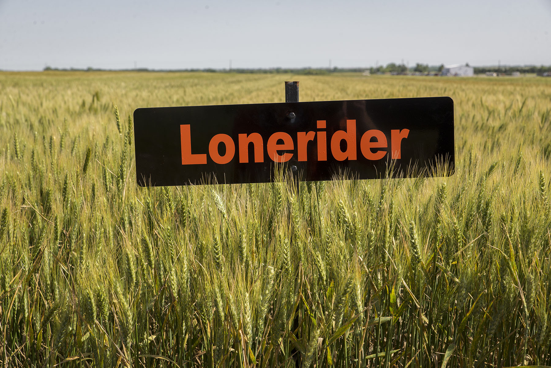 Lonerider completes trio of 2017 OSU wheat releases