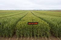 OSU introduces new hard white wheat variety