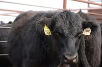 State beef checkoff vote set for Nov. 1