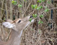 A browse survey gives landowners a better deer picture