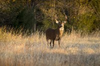 Breeding season collides with hunting season for deer