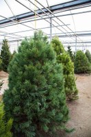 Christmas tree facts spark interest of OSU researchers