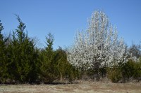 Consider native species when selecting landscape trees