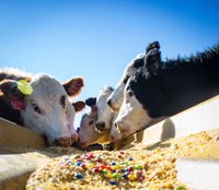 Feeding cattle candy helps save producers cash