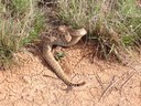Only seven species of snake found in Oklahoma are venomous