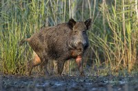 Rooting around for feral pig solutions