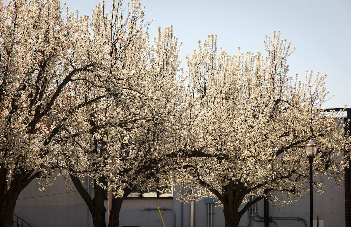 Pretty problems from Bradford pear trees — Division of Agricultural ...