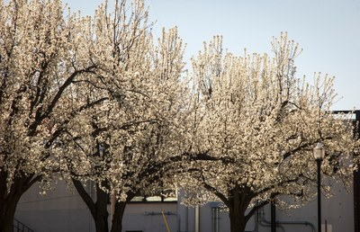 Pretty problems from bradford pear trees division of agricultural pretty problems from bradford pear trees mightylinksfo